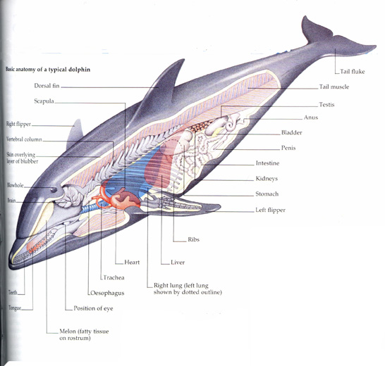 Anatomy of dolphin